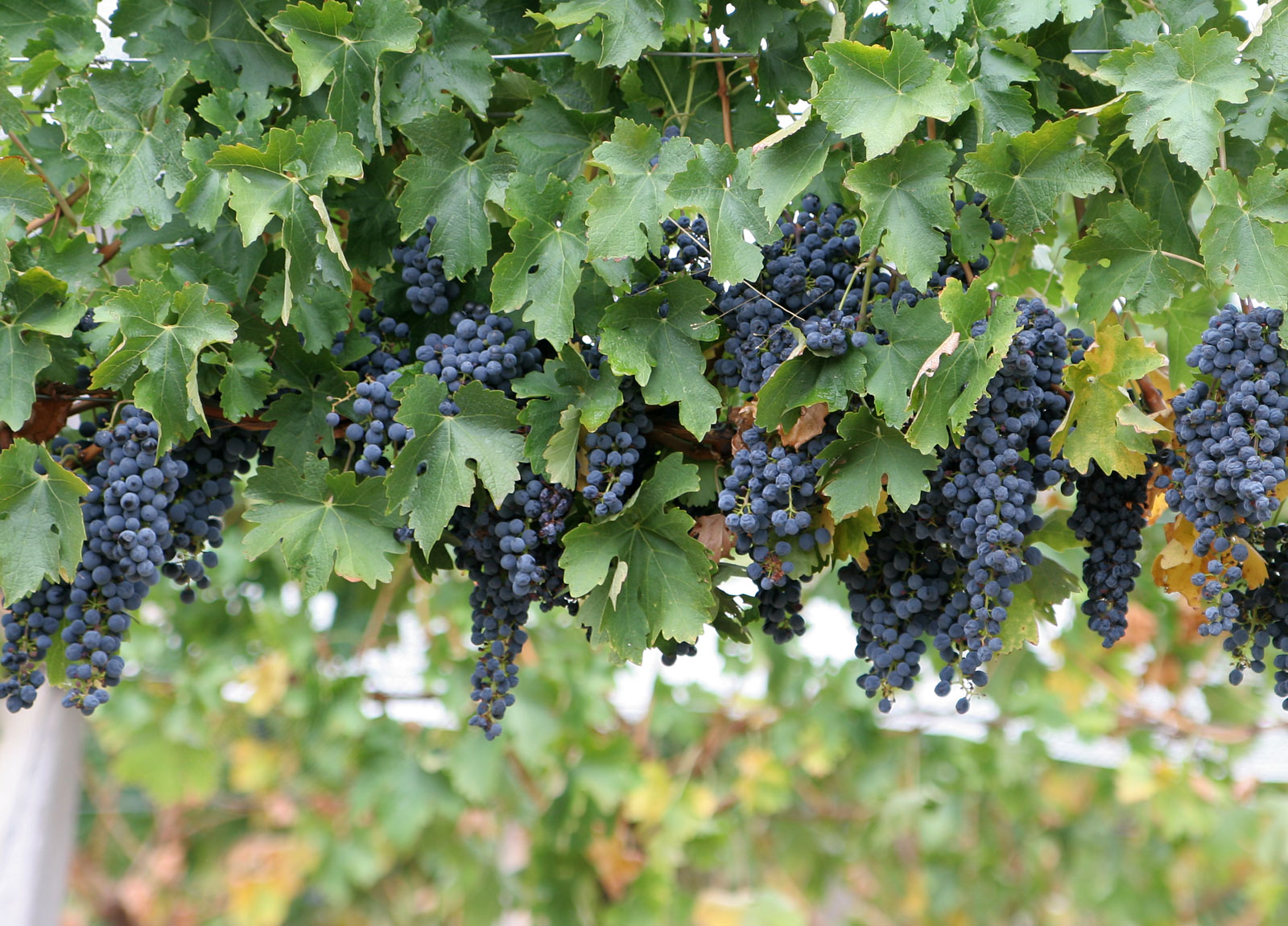 S:US Partners With Rooftop Reds Vineyard For The 2015 Growing Season